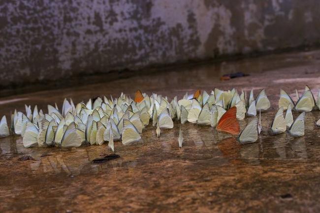 Những cánh bướm đủ sắc màu đã xuất hiện tại rừng quốc gia Cúc Phương thu hút du khách bởi vẻ đẹp như thiên đường của mình