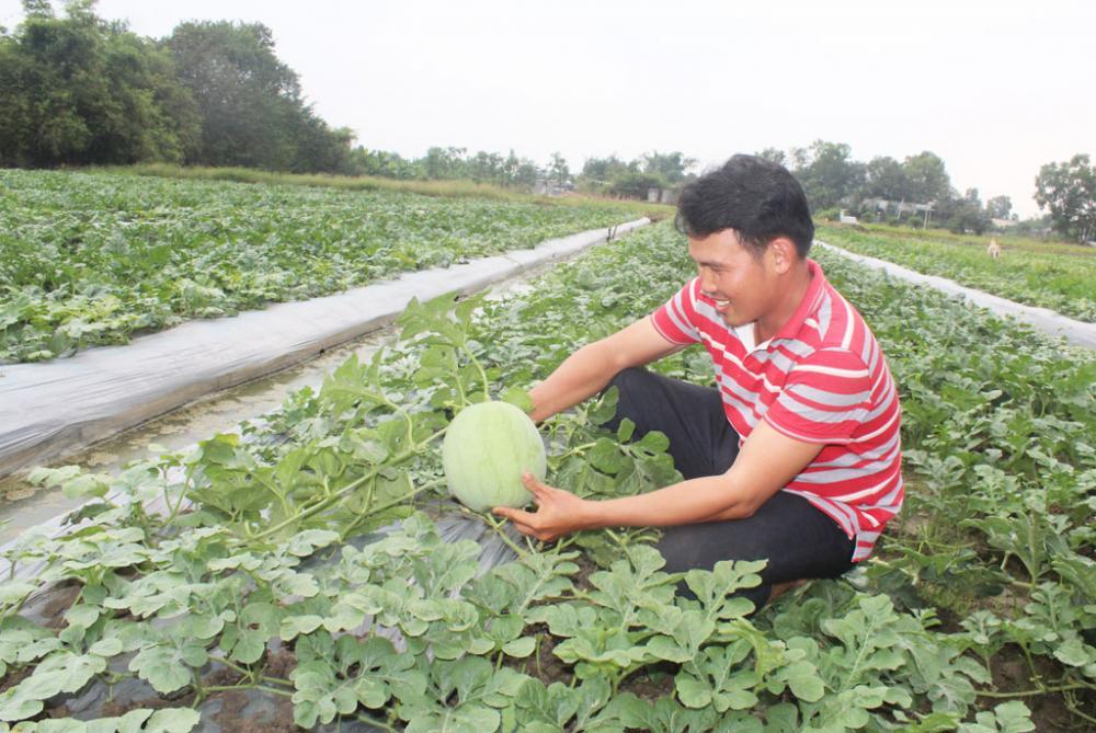 Anh Nguyễn Kim Phong thu hoạch dưa hấu phục vụ thị trường tết