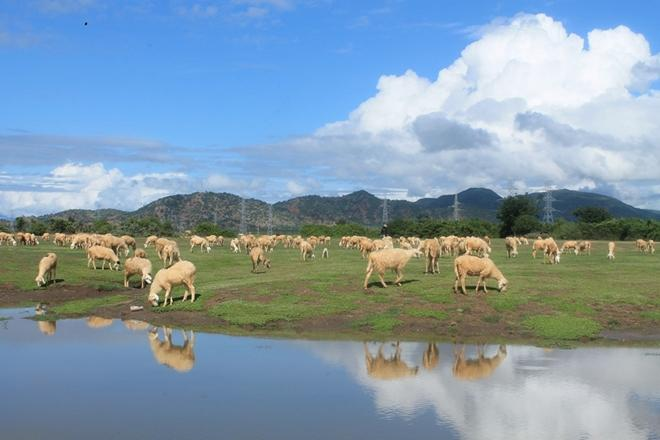 Đàn cừu ở An Hòa