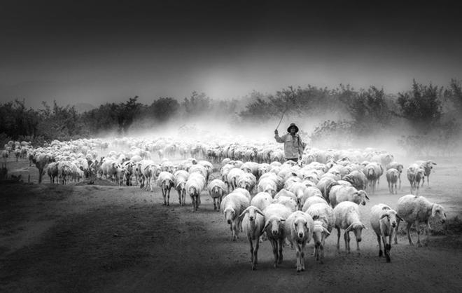 Đàn cừu di chuyển theo lối về giữa cảnh quan vùng đất đầy nắng và gió