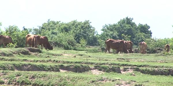 Người dân di chuyển đàn gia súc về nơi có nước và thức ăn.
