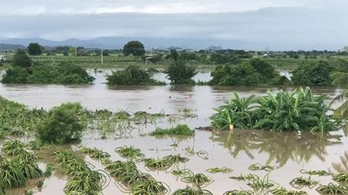 Nhiều diện tích cây thanh long ở huyện Bắc Bình đang bị ngập chìm trong nước lũ