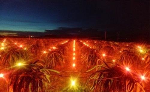 Vườn thanh long chong đèn trái vụ bằng bóng compact ánh sáng đỏ 15 W