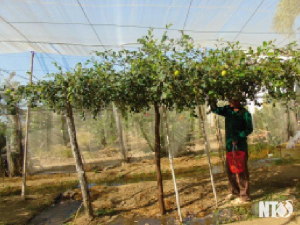 Ông Võ Văn Thành chăm sóc vườn táo.