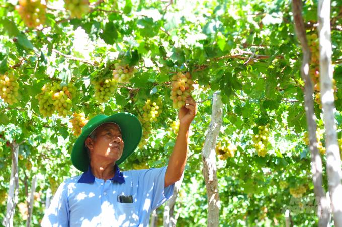 Ông Nguyễn Khắc Phòng trồng giống nho mới NH01-152 từ năm 2018 cho hiệu quả kinh tế rất cao. Ảnh: Kim Sơ.