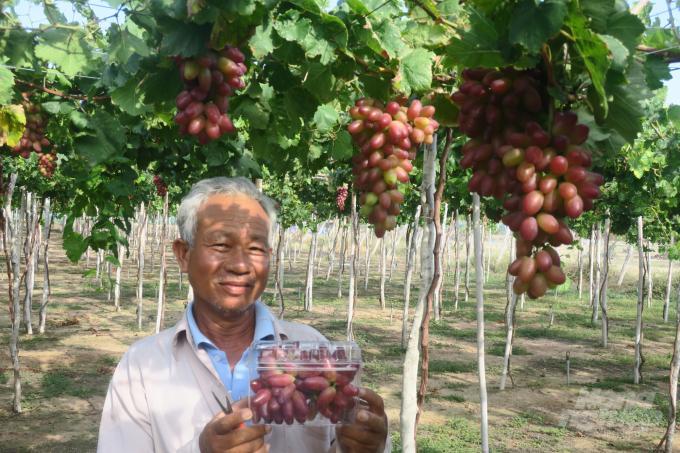 Giống nho NH01-152 sẽ thay thế dần các giống nho cũ tại Ninh Thuận. Ảnh: KS.