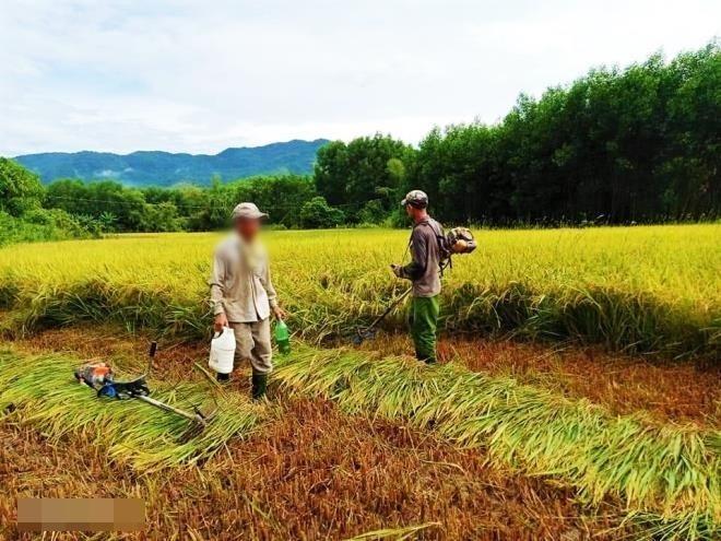 Bà con làng xóm đã giúp đỡ vợ chồng bà C. gom lúa. (Ảnh: VTC).