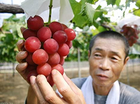 Nho Ruby Roman là thành quả lao động không ngừng nghỉ trong suốt hơn 14 năm trời của nông dân và chính quyền tỉnh Ishikawa từ 1992. Ảnh: Amazon.