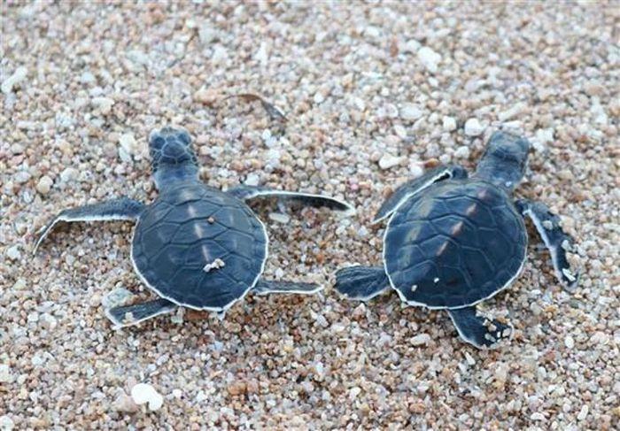 Rùa con sau khi nở được thả về biển tại Vườn quốc gia Núi Chúa. (Ảnh: Nguyễn Thành/TTXVN)