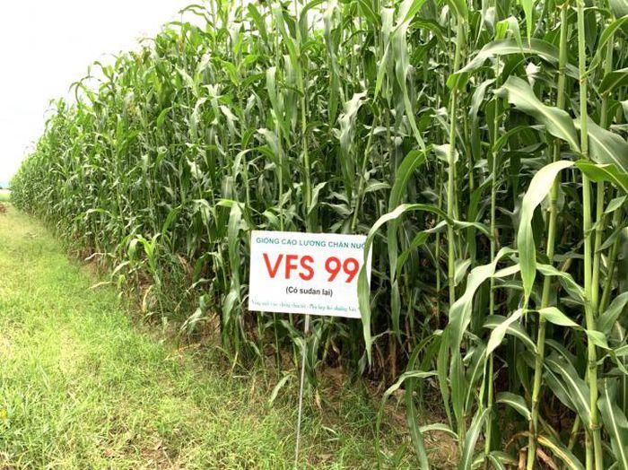 Giống cao lương VFSS cũng là sự lựa chọn rất tốt cho thức ăn chăn nuôi, thân cây ngọt, mềm, hàm lượng dinh dưỡng cao. Ảnh: NVS.