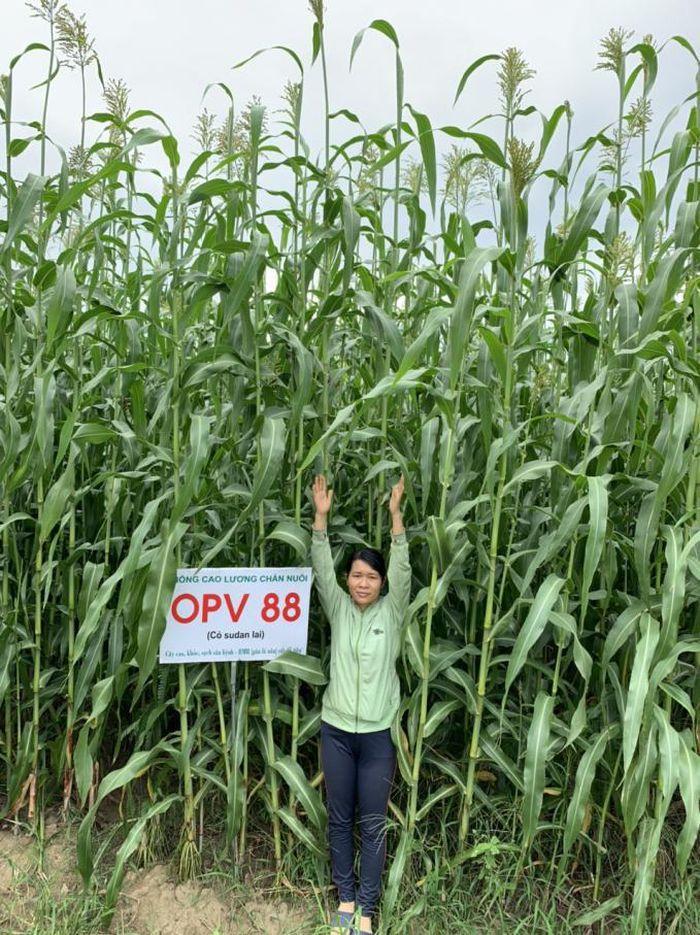 Giống cao lương OPV88 rất thích hợp với vùng khô hạn tại Ninh Thuận, chiều cao cây trước khi ra hoa đạt từ 3 - 3,5 m, năng suất hơn 100 tấn/ha/lứa. Ảnh: NVS.