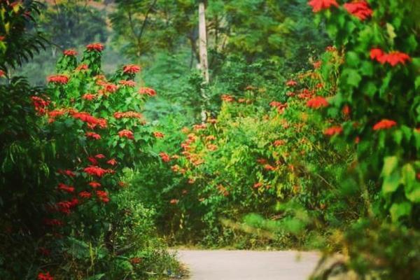 Hoa nở rộ nhuộm cả một góc trời- ảnh FB Mai Mẹt