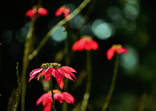Nhắc tới VQG Xuân Sơn là người ta nghĩ tới loài hoa đỏ thắm như tình người nơi đây vậy- ảnh Nguyễn Vũ Hậu