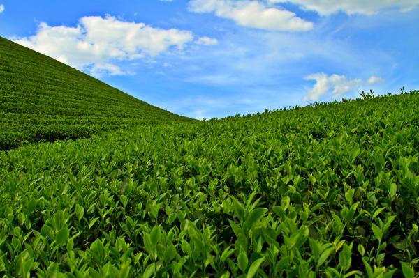 Đồi chè Tân Sơn- Phú Thọ