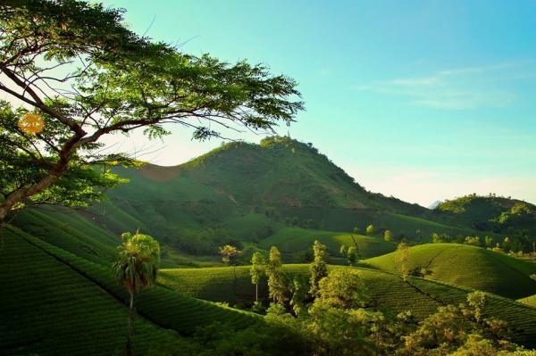 Trên những quả đồi hình bát úp nhấp nhô, những câychè xanhđược trồng nối tiếp,uốn lượn quanh đồi.