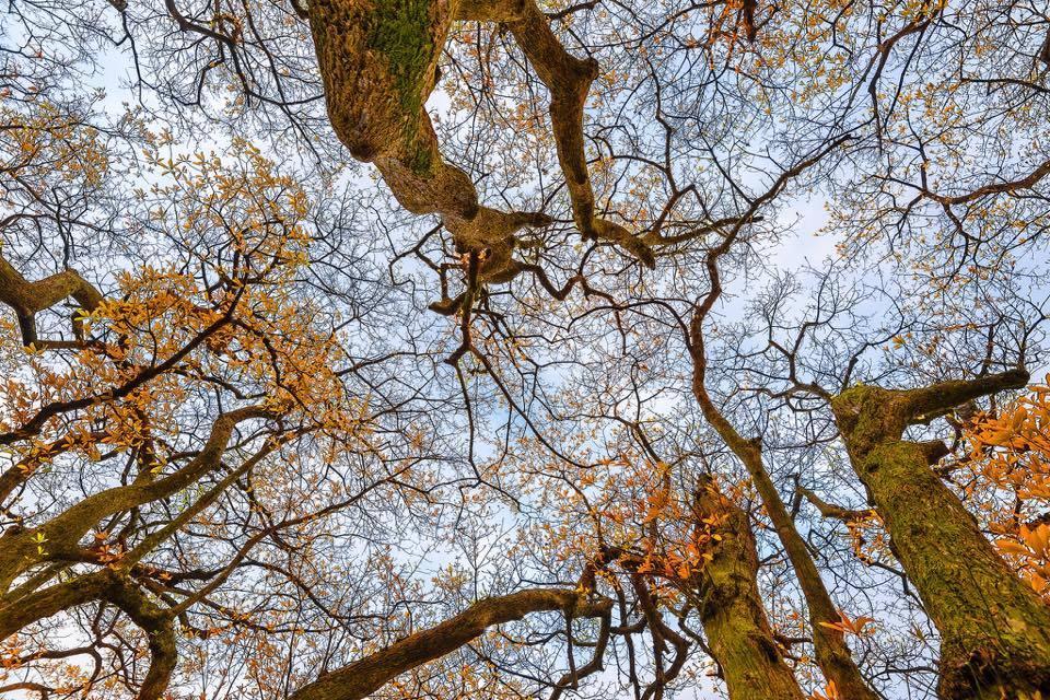 Lộc vừng vào mùa thay lá, vàng rực cả một khoảng trời