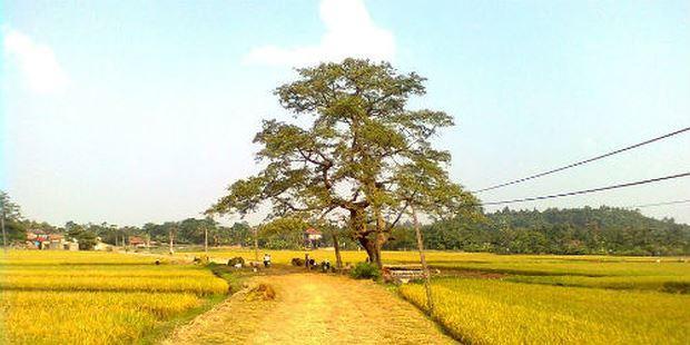 """Toàn cảnh cây gạo """"ma ám"""" ở Hương Nha"""