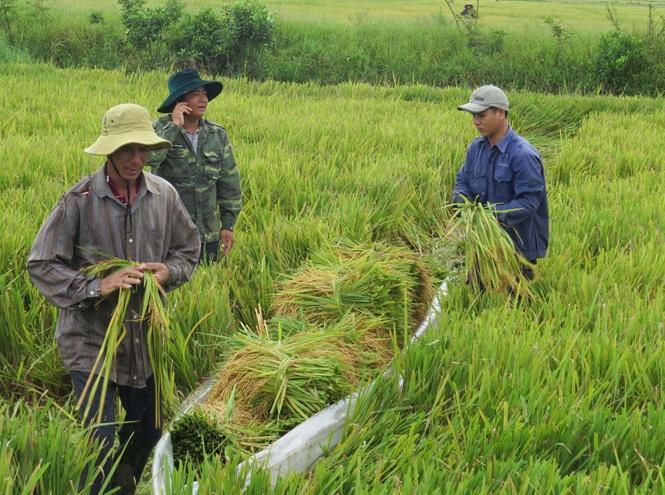 Thuyền bạt để chở lúa trên đồng