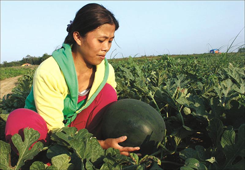 Vườn trồng dưa của bà con nông dân xã Hàm Ninh. Ảnh: Thùy Nhung