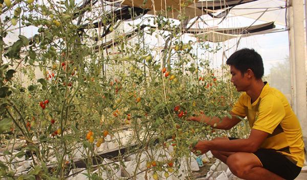 Mô hình trồng cà chua bi công nghệ cao của anh Dương Trí Quang (Ngư Thủy Bắc, Lệ Thủy) cho năng suất 3kg/cây.