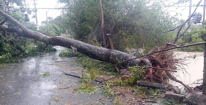 Nhiều cây xanh bị bão số 10 đánh cho ngã.