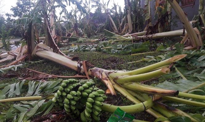 Nhiều cây trồng của dân bị hư hỏng hoàn toàn.