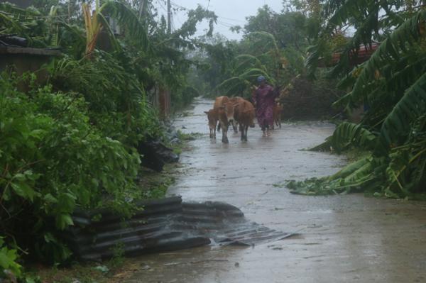 Sau bão số 10, người dân xã Châu Hoá lùa trâu, bò lên vị trí cao để phòng tránh lũ.