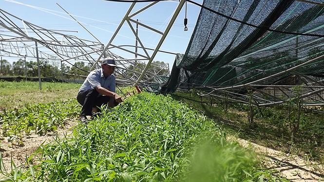 Nhiều nhà lưới trồng rau sạch tan hoang sau bão.