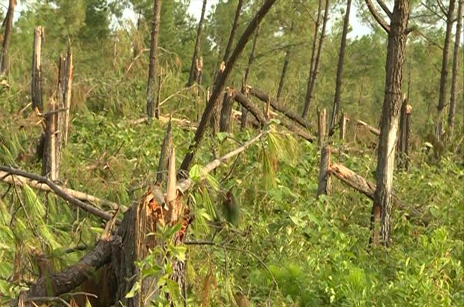 Rừng thông ở huyện Quảng Trạch trong kỳ khai thác bị gãy đổ do bão số 10.