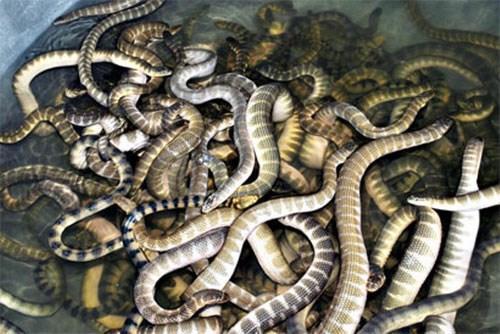 Đẻn biển: Du lịch Quảng Bình, chắc chắn bạn sẽ có cơ hội thưởng thức nhiều đặc sản mới lạ, trong đó không thể không kể đến món đẻn biển. Đẻn biển là một loại rắn biển thân thon nhỏ, dài từ 1-2m, có vảy, mình vằn da nhám, đầu nhỏ đuôi dẹt và mang giá trị dinh dưỡng cao. Ảnh: Internet.