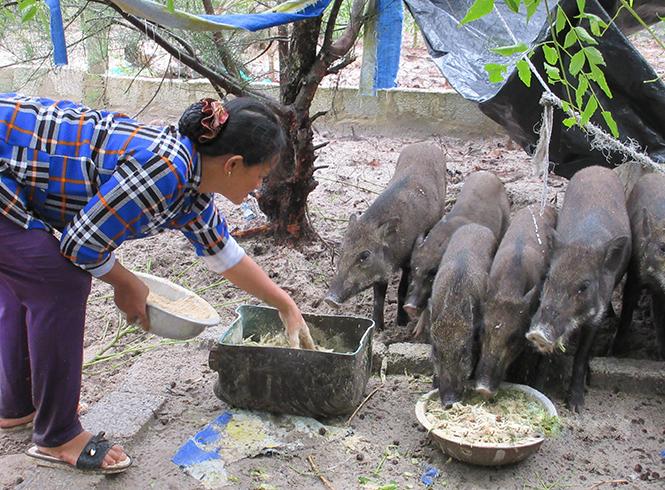 Chị Huy đang cho heo ăn bèo trộn cám gạo.