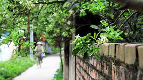 Về đến ngõ quê thân thuộc, từ xa đã thấy hương hoa bưởi tỏa thơm ngào ngạt (Hình minh họa)