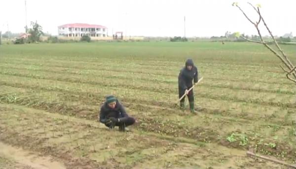 Xây dựng thương hiệu tỏi sẽ giúp bà con nông dân thị xã Ba Đồn có thêm điều kiện để sản xuất sản phẩm bền vững hơn