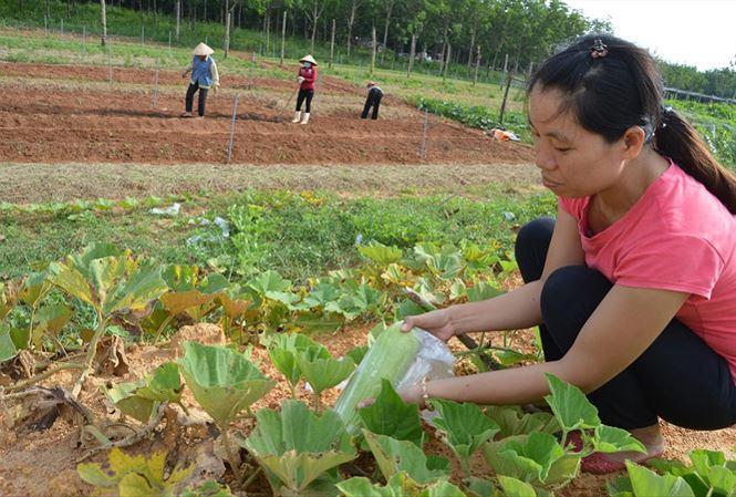 Kỹ sư Lê Thị Thanh Thủy đang dùng túi ni lông bọc quả trong trang trại để tránh côn trùng, thay vì phun thuốc. Ảnh: H.N.
