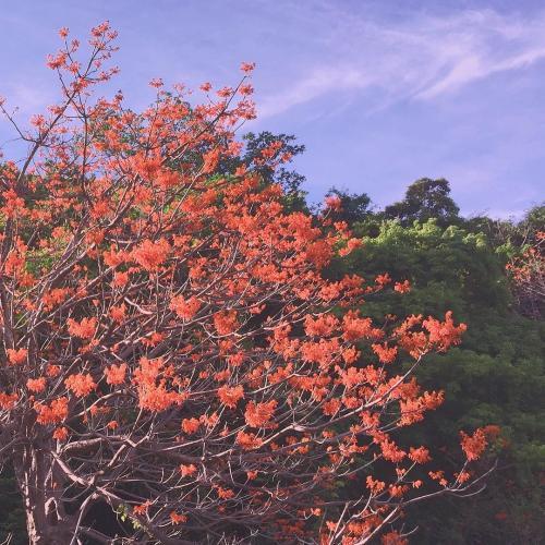 Hoa ngô đồng ở Cù Lao Chàm có màu đỏ cam đặc biệt. (Ảnh: @moon_chuchu)