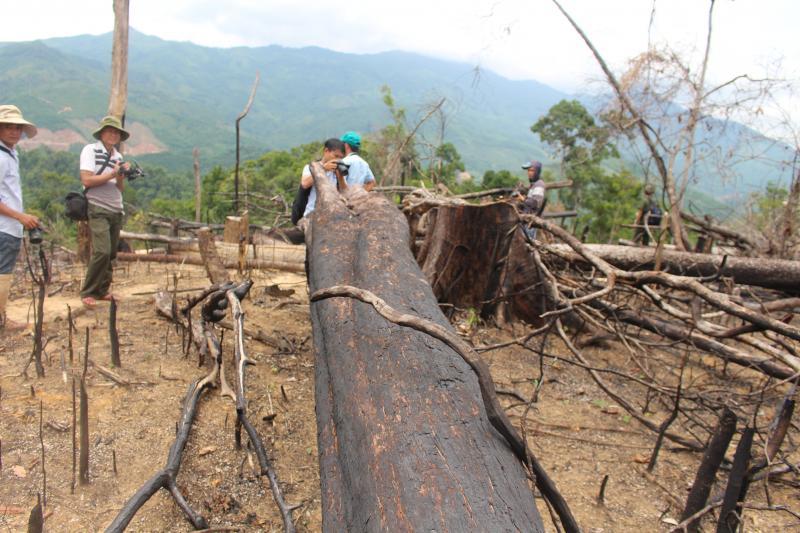 Những mảng rừng lớn với hàng loạt những cây gỗ to bị triệt hạ.