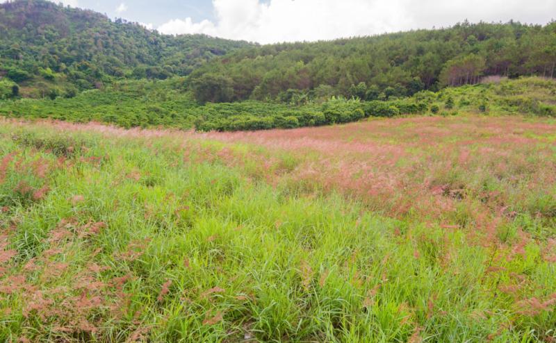 Đi qua cánh đồng cỏ hồng trên đường về.
