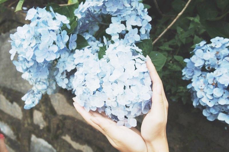 Cẩm tú cầu là cây thân mộc, hoa vô tính. Lúc đầu hoa màu trắng, sau biến dần thành màu xanh lam hay màu hồng, màu tím. Màu hoa phụ thuộc vào độ pH của đất.Cẩm tú cầu hiện đang nở rộ và đẹp nhất trong khoảng nửa đầu tháng 6, sau đó sẽ tàn dần.
