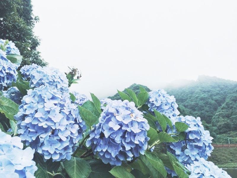 Vẻ đẹp của loài hoa này được nhiều người yêu thích. Hoa được trồng rộng rãi trên khắp cả nước, đặc biệt là những nơi có khí hậu ẩm và ánh sáng nhẹ.