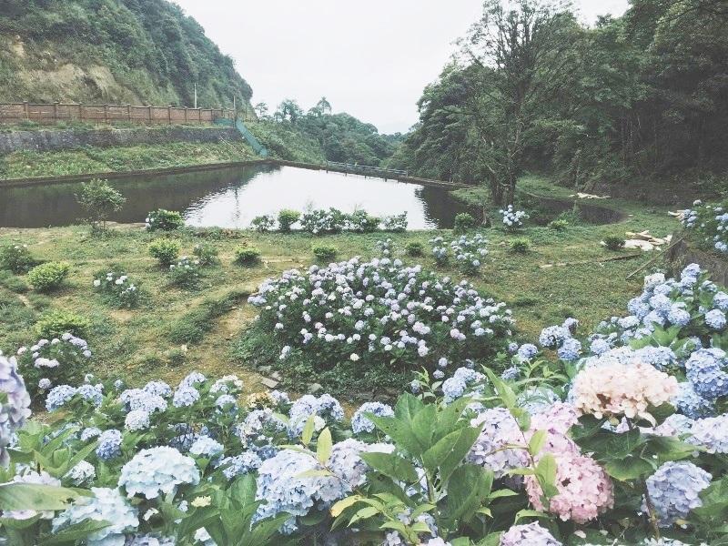 Mọi ngóc ngách ngập tràn sắc hoa Cẩm tú cầu.