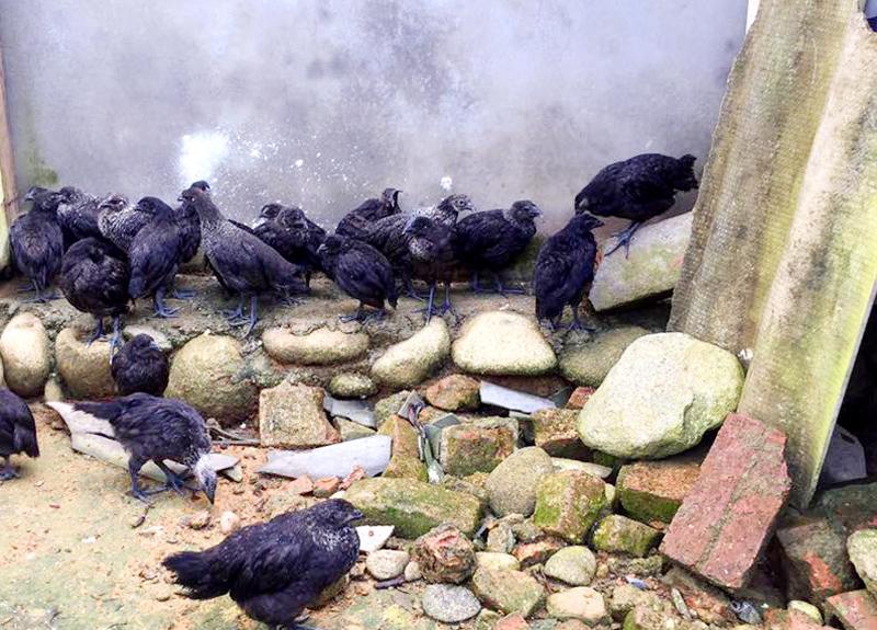 Gà Mông đen được chăn thả bán tự nhiên cho chất lượng thịt thơm ngon.