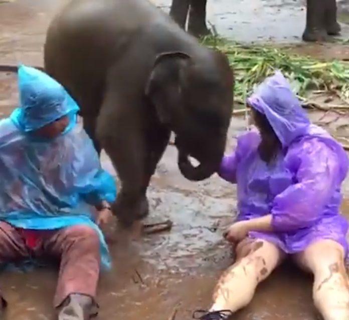 Cô gái mặc áo mưa màu tím và người bạn của mình ngồi hẳn xuống bãi bùn để chơi với con voi con