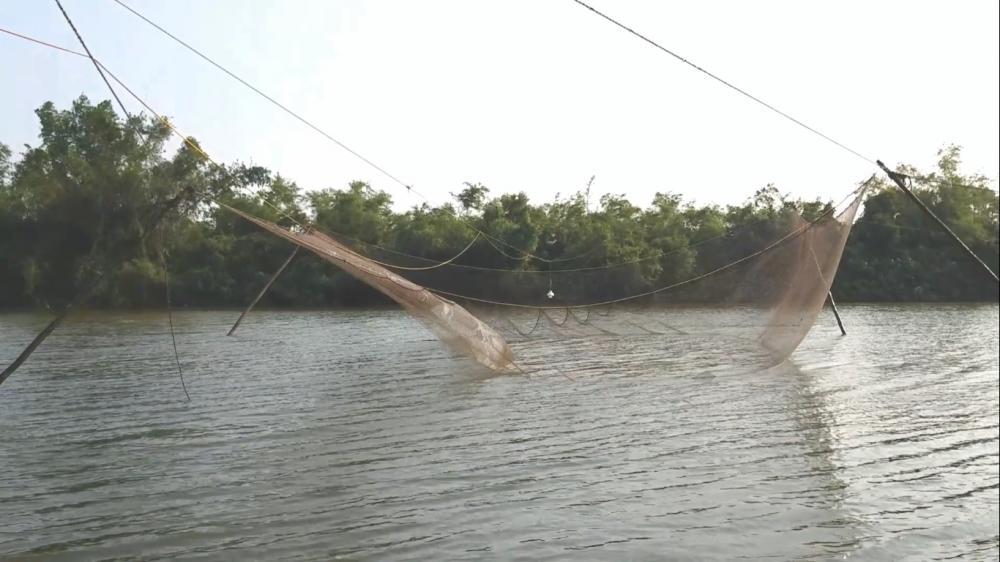 Nuốt sông được đánh bắt bằng lưới chài cỡ lớn.