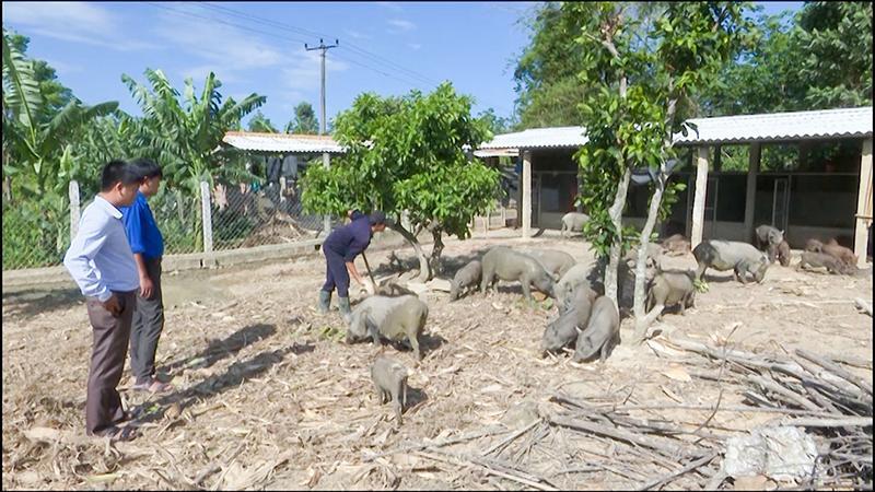 Thanh niên Cam Hiếu phát triển mô hình chăn nuôi lợn rừng