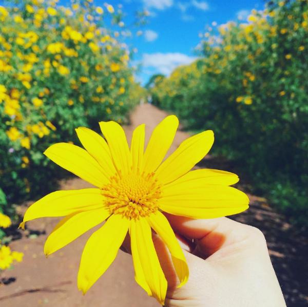 Hoa dã quỳ được coi là loài hoa tượng trưng cho tình yêu đôi lứa của người dân Tây Nguyên. Ảnh: heokkkon.