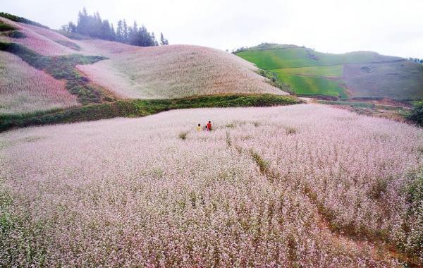 Từng chùm hoa li ti lại có sức hút đặc biệt với biết bao lữ khách.
