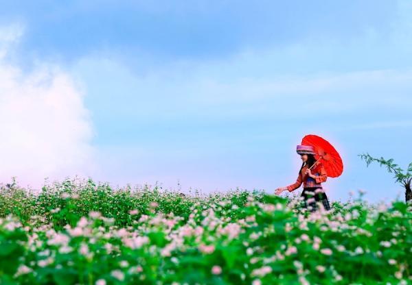 Tam giác mạch không phải loại hoa dại mà được người dân chăm sóc, vun trồng cẩn thận.