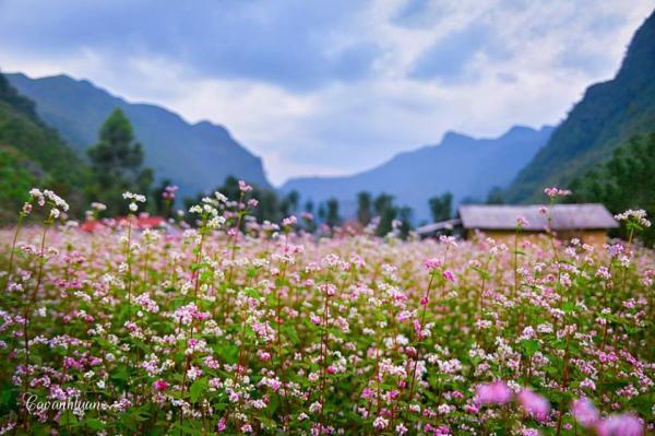 Tây Bắc vốn đã nên thơ, nay lại càng lãng mạn bội phần khi mùa hoa đến.