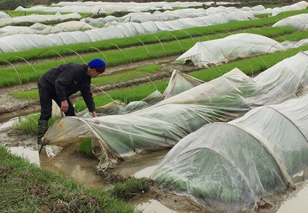 Nông dân xã Mai Phụ, huyện Lộc Hà (Hà Tĩnh) phủ ni-lông che chắn cho mạ trong những ngày rét đậm, rét hại.