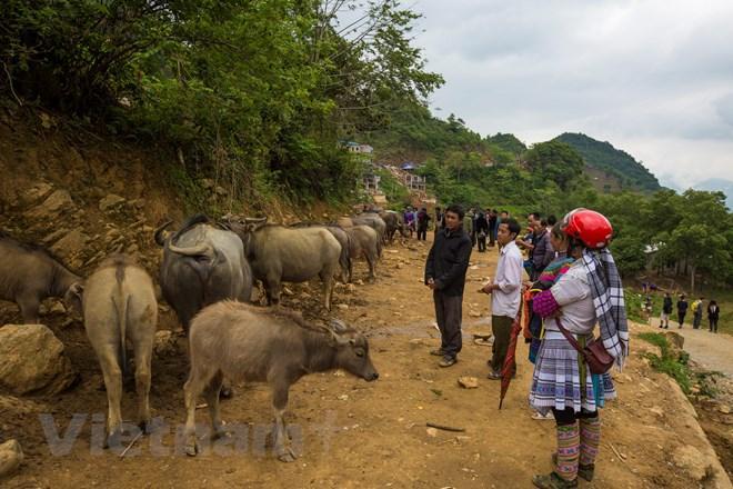 Có thể nói, đây là chợ trâu lớn nhất Tây Bắc, mỗi phiên có tới hàng trăm con trâu được người dân và các thương lái đưa về chợ. (Ảnh: Phạm Hương/Vietnam+)